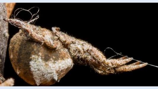 Laidynė iš voratinklio