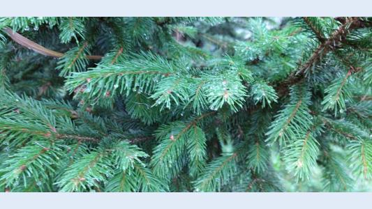 Kaip susijusi spyglio masė ir medžio sveikata?